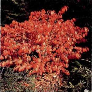 Ярко красный осенний наряд бересклета