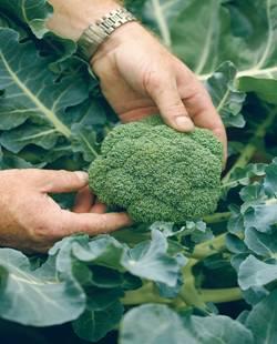 Посеем броколли на лето
