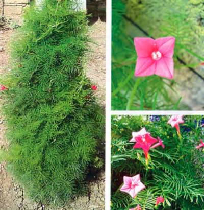 Цветок как елочка название