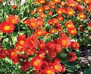мелколепестник (эригерон) оранжевый (Erigeron aurantiacus)