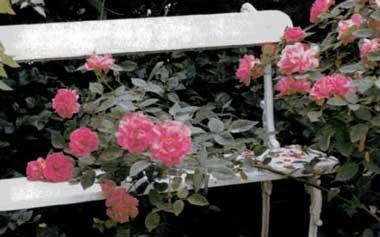Гармония цвета розовые розы и белая