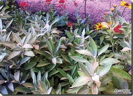 Травы ароматические выращивание